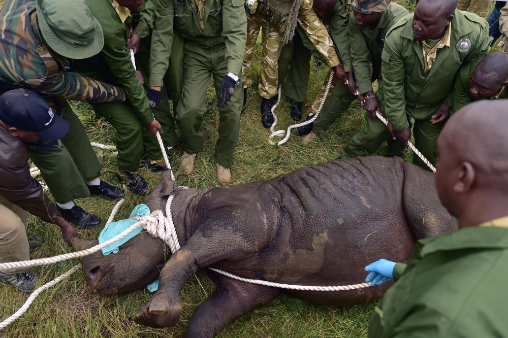 Kenya Wildlife Services (KWS) translocation team members assist a sedated female black rhinoceros into a safer position before loading the animal into a transport crate as it is one of the three individuals about to be trans-located in Nairobi National Park, in this June 26, 2018 file photo. — AFP