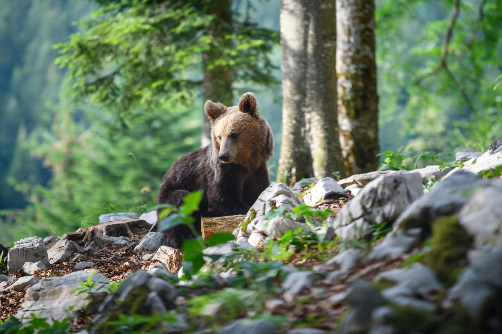 A bear explores the forest above the small village of Markovec, Slovenia. Once on the verge of extinction, Slovenia's brown bear population is booming, with the number roaming the sprawling forests having doubled in the last decade to around 1,000. - AFP
