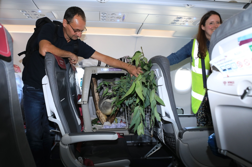 A handout picture released by the Royal Zoological Society of Scotland (RZSS) shows Tanami, a 19-month-old Queensland koala, in a travel carrier on his plane seat being attended by RZSS staff after the plane landed at Edinburgh Airport on Friday. - AFP