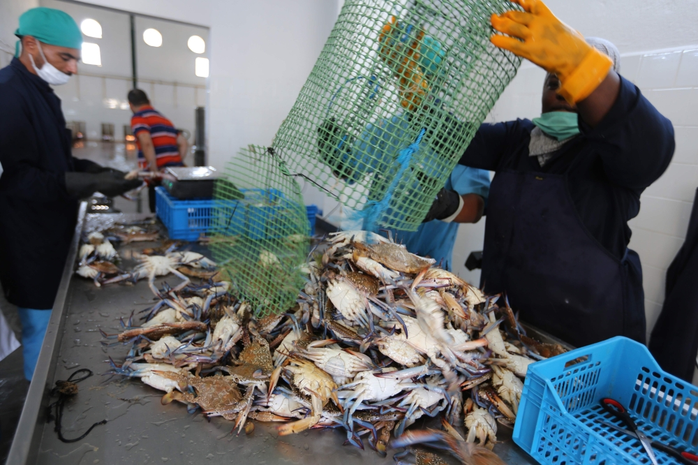 Employees sort crabs at a storage facility  in the Tunisian coastal city of  Zarzis. Tunisian fishermen saw the blue crab wreak such havoc on their catches when it first appeared that they nicknamed it after the terrifying Daesh (the so-called IS) militants. But now — four years after these scourges of the sea invaded their waters — the predators have turned into prey as fishermen in the North African country cash in on the crustaceans.  — AFP