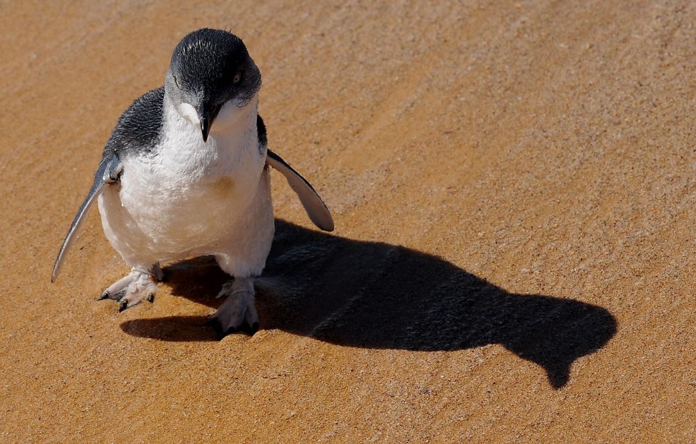 This file picture taken on March 20, 2009 shows a little penguin, also known as fairy penguin, as it is released from captivity into the open ocean near Sydney. — AFP