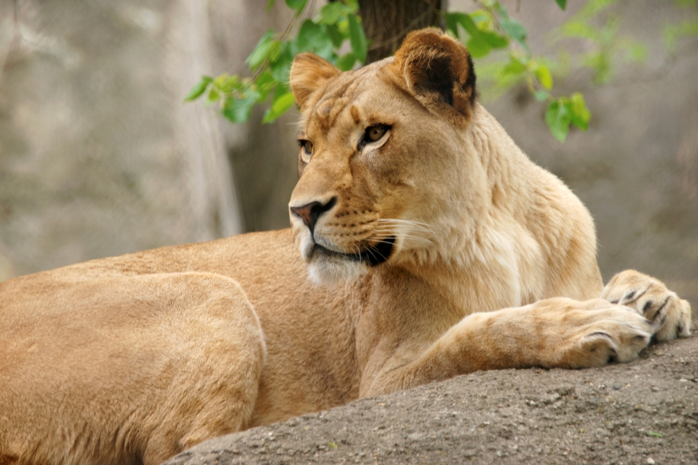 The Indianapolis Zoo's lioness named Zuri is seen in this undated photo released by the zoo in Indianapolis, Indiana, on Sunday. — Reuters
