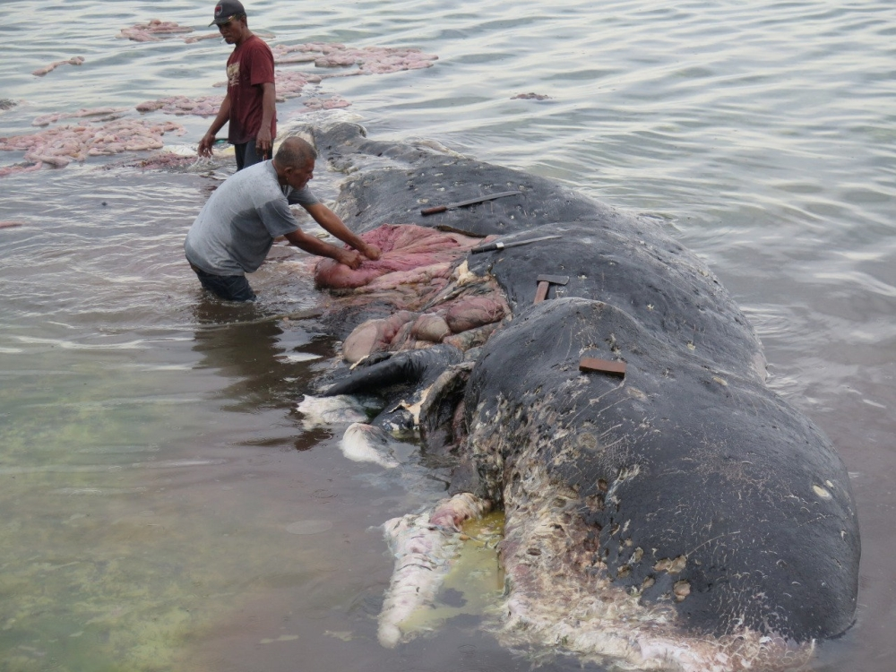 A stranded whale with plastic in his belly is seen in Wakatobi, Southeast Sulawesi, Indonesia, in this picture obtained from social media on Monday. — Reuters