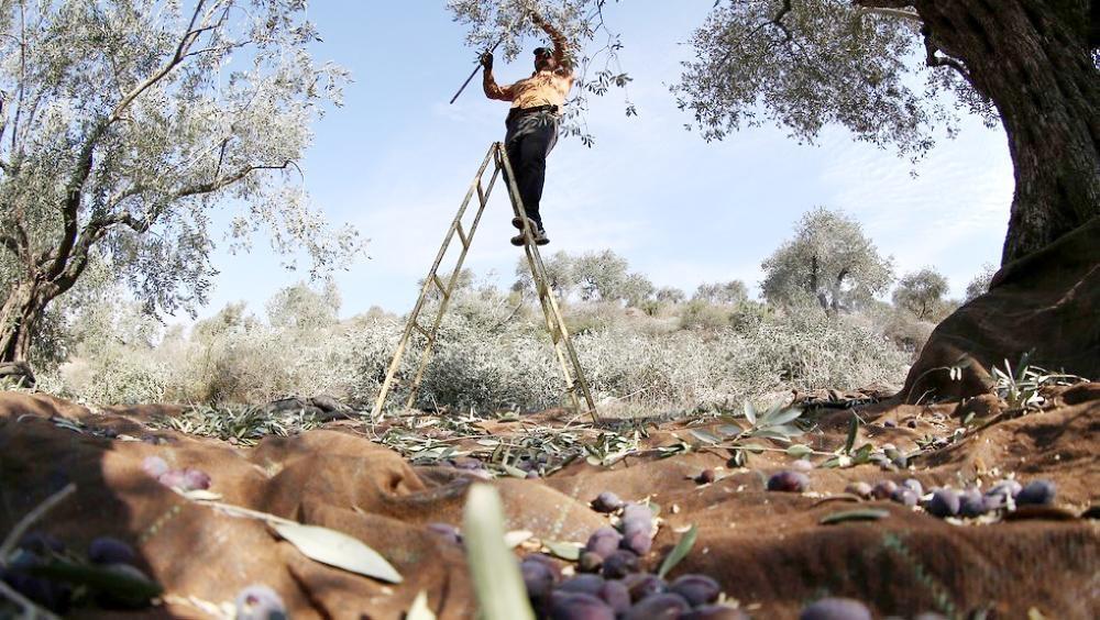 A farmer plucks olive fruit.