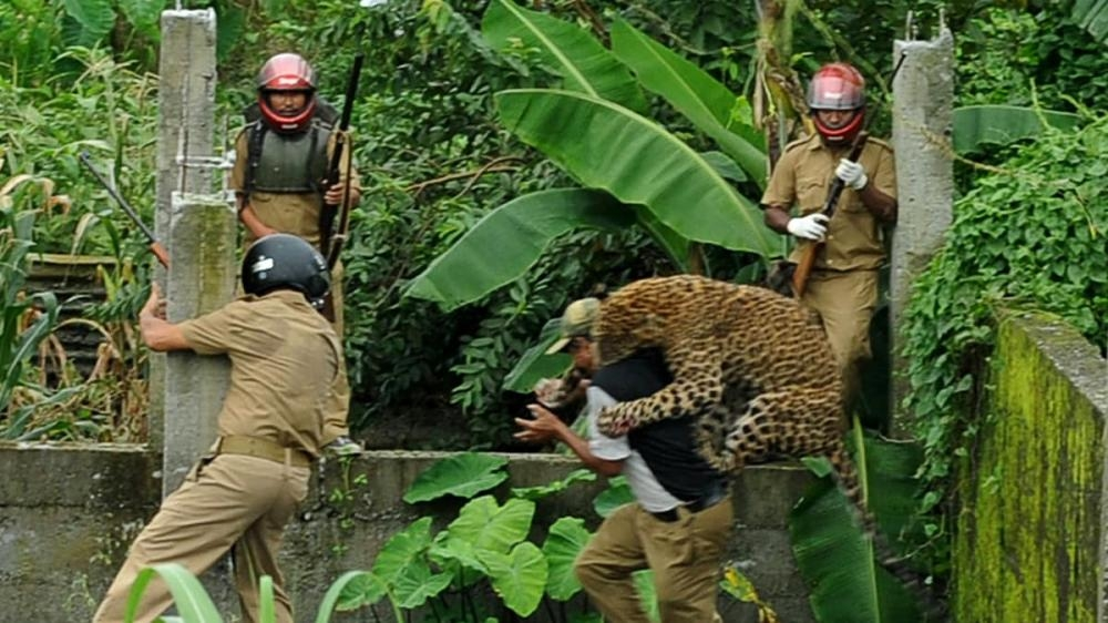 A leopard attacks a forest guard at Prakash Nagar village near Salugara, on the outskirts of Siliguri, India, in this July 19, 2011 photo. — AFP