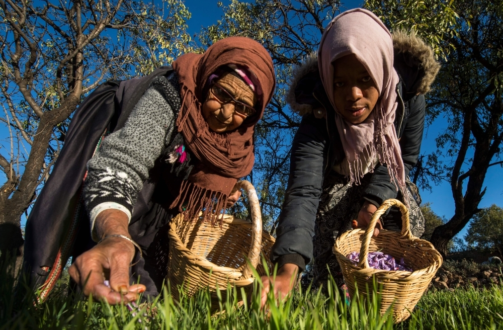 Moroccan laborers pick saffron flowers in a field in the Taliouine region in southwestern Morocco. — AFP photos
