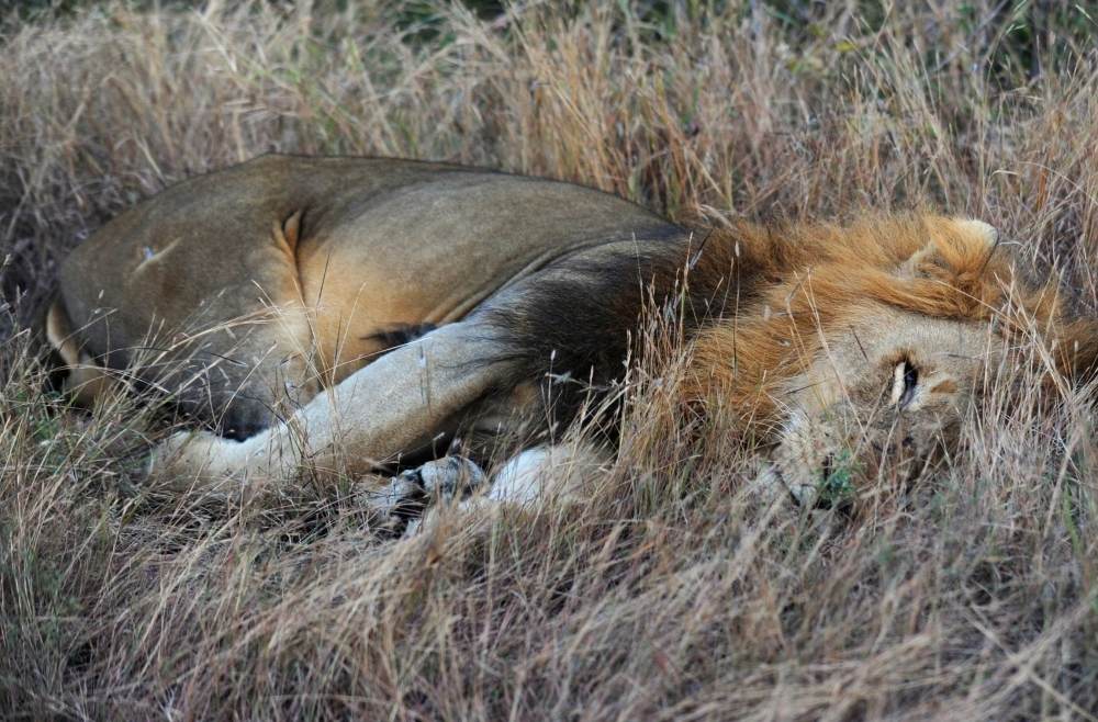 A lion rests at Kruger National Park, some 60 km from Nelspruit in South Africa, in this June 21, 2010 file photo. — AFP