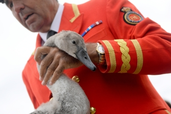 David Barber, The Queen's Swan Marker, holds a cygnet as officials record and examine cygnets and swans during the annual census of the Queen's swans, known as 'Swan Upping', along the River Thames in London, Britain, on Monday. — Reuters