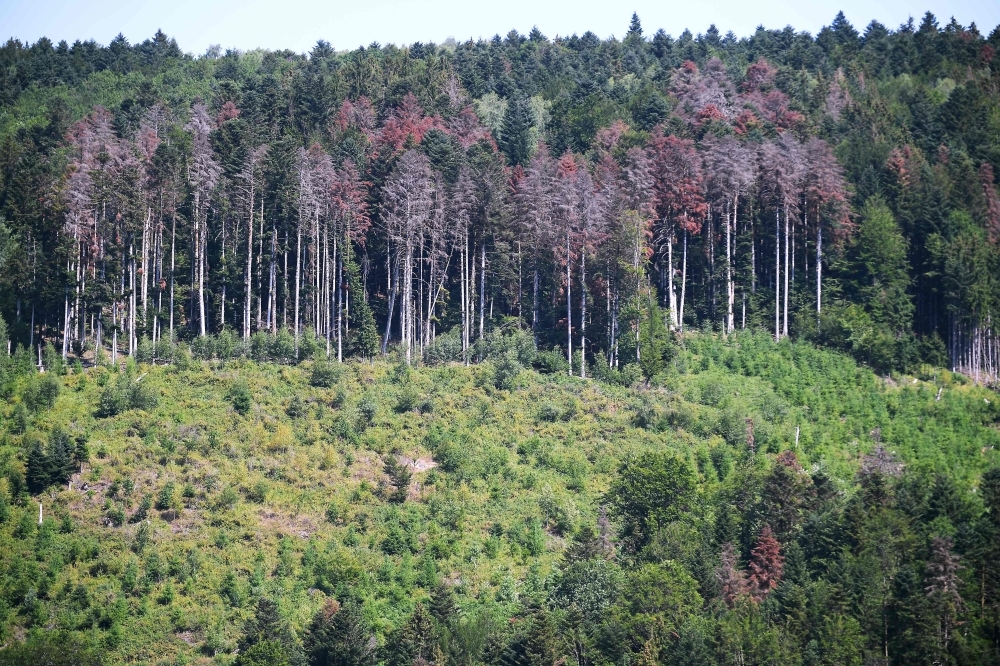 This picture taken on July 12, 2019 shows fir trees suffering from the drought around Masevaux, eastern France. — AFP