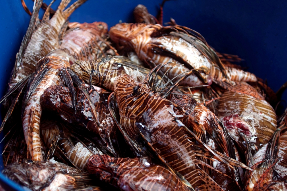 Lionfish is seen after a dive at the Zenobia, a cargo ship wreck off Larnaca, Cyprus July 15, 2019. REUTERS/Yiannis Kourtoglou