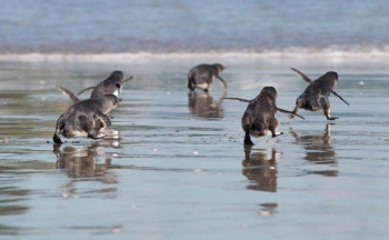 Little blue penguins, also known as fairy penguins, are native to New Zealand but are listed as at-risk as development encroaches upon their environment. — AFP