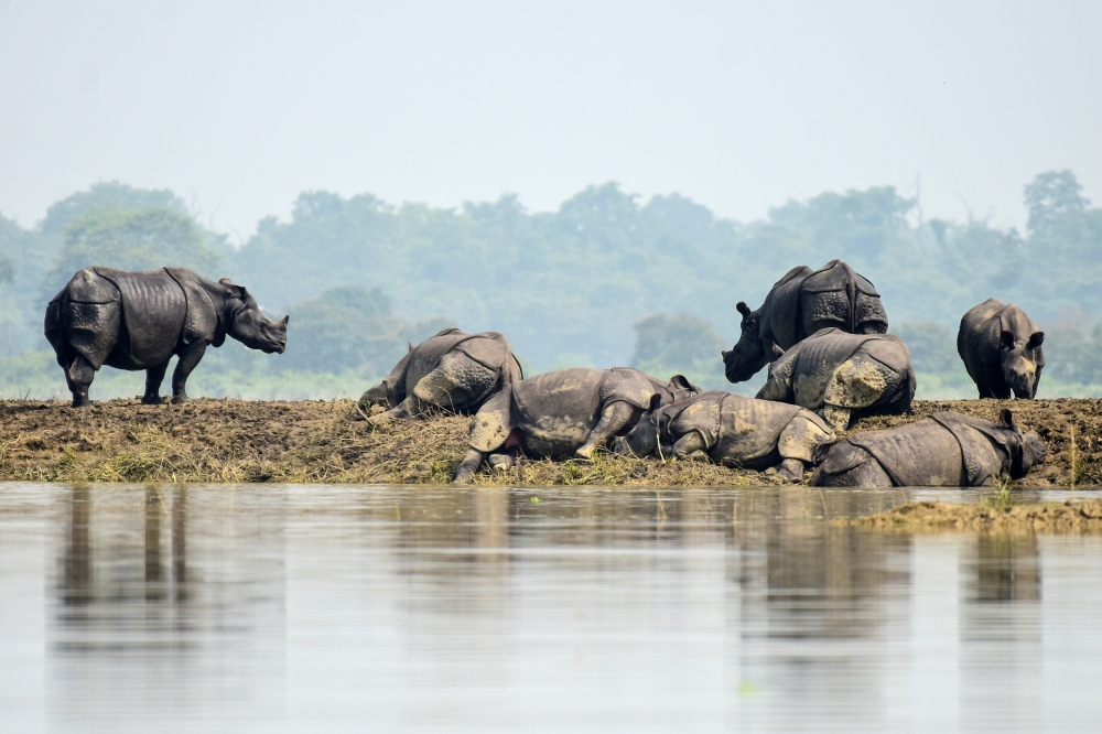 One-horned rhinos rest on a highland in the flood affected area of Kaziranga National Park in Nagaon district, in the northeastern state of Assam, India, on Thursday. — Reuters