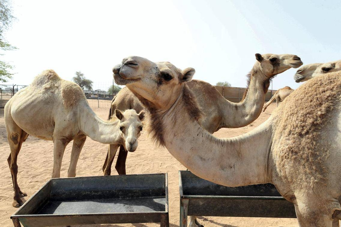 Thousands of tons of camel dung are being used to fuel cement production in the northern United Arab Emirates.