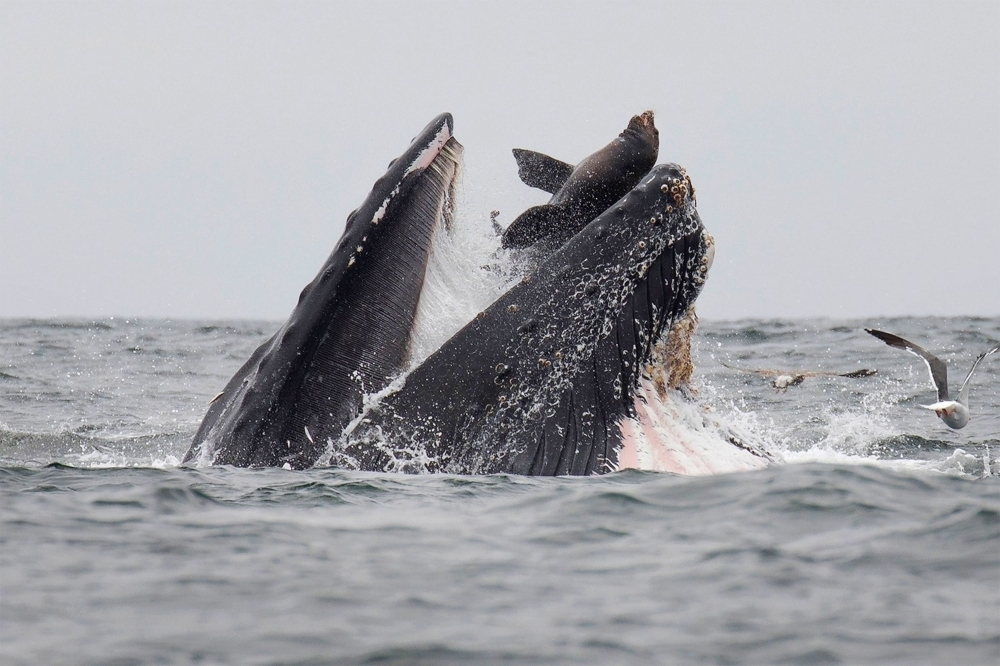 A sea lion accidentally is caught in the mouth of a humpback whale in Monterey Bay, California, on Tuesday. In a stunning photo, a wildlife photographer has captured a sea lion falling into the mouth of a humpback whale in what he calls a