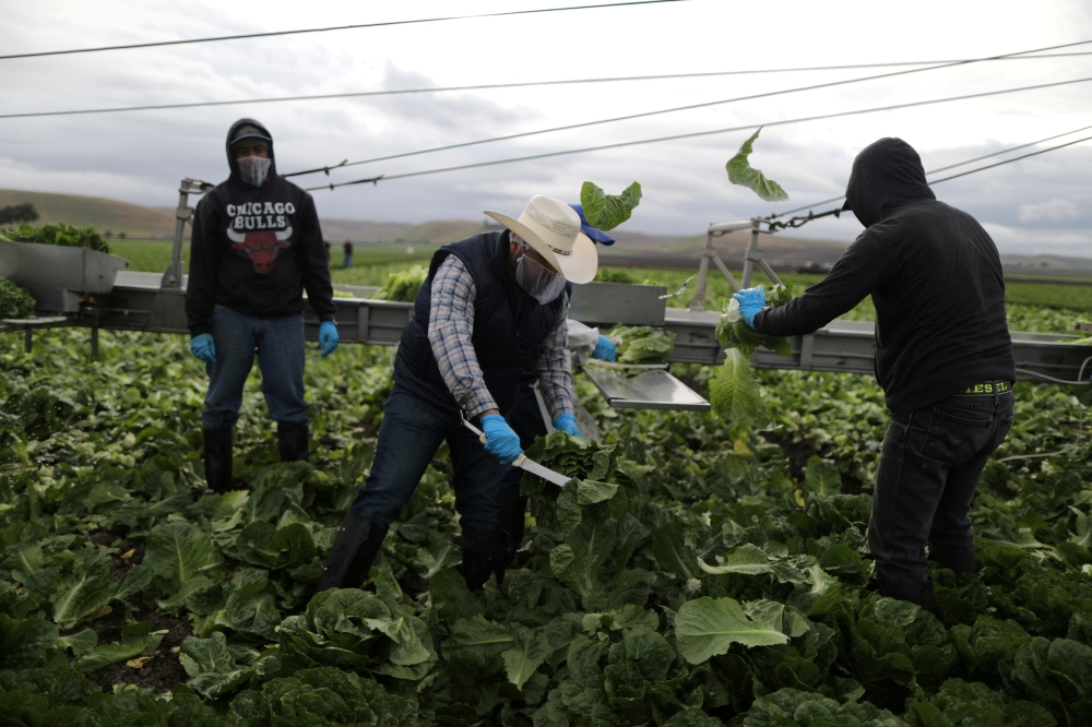 Foreman Roberto Navarrete, 30, (C) supervises farmworkers with H2A visas as they harvest romaine lettuce in King City, California on April 17, 2017. -Reuters