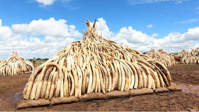 Pressure mounting on  EU to end ivory trade