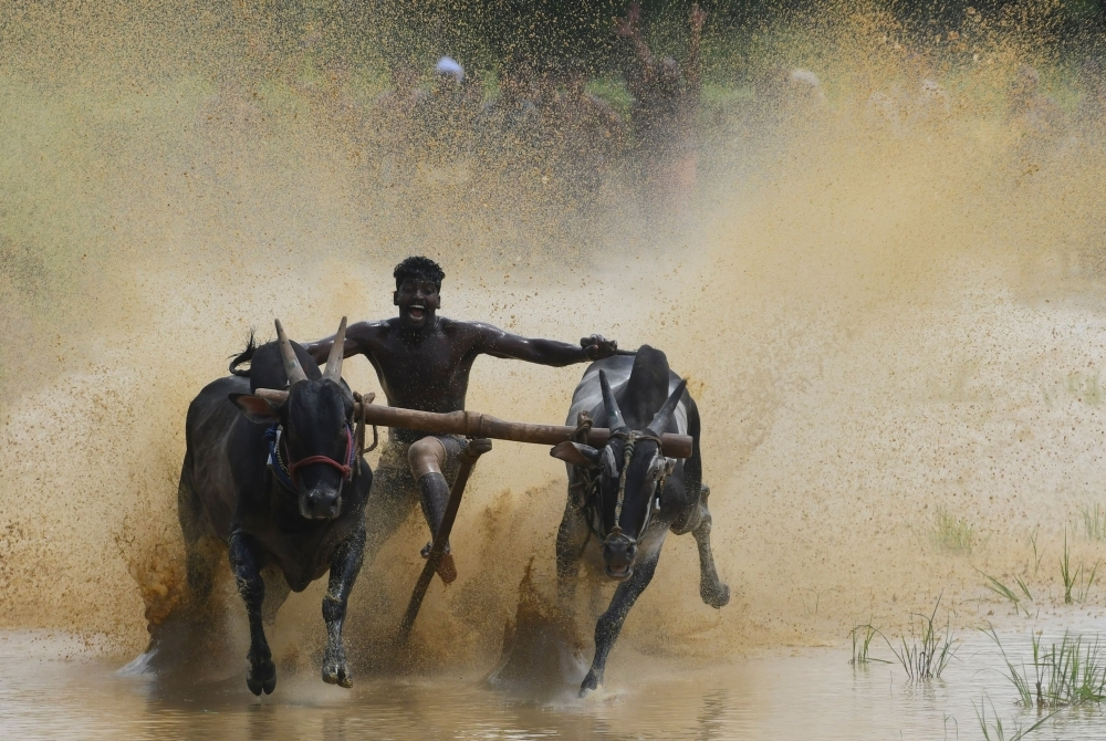 A jockey races a pair of bulls on a paddy fields during the annual Kalapoottu bull running festival on the occasion of Onam festival celebrations in the village of Vengannur near Palakkad, Kerala, India, on Sept. 12, 2019.  — AFP
