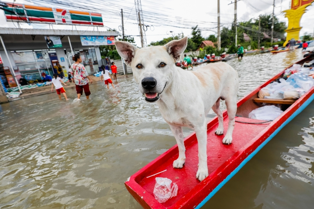 A dog stands on a boat on a flooded street in Thailand's northeastern province of Ubon Ratchathani on Saturday. -AFP
