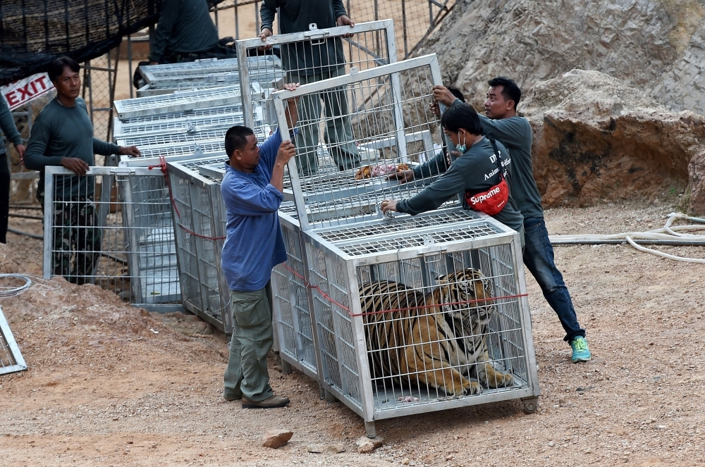 Wildlife officials use a tunnel of cages to capture a tiger and remove it from an enclosure at the Wat Pha Luang Ta Bua tiger temple in Kanchanaburi province, western Thailand, in this May 30, 2016 file photo. — AFP