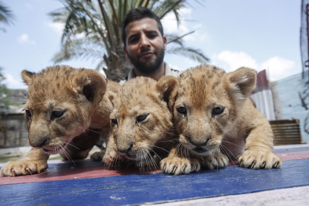 A Palestinian employee shows three recently born cubs at a zoo in Rafah in the southern Gaza Strip on Sept. 8, 2019.  The Rafah Zoo in the southern Gaza Strip was known for its emaciated animals, with the owners saying they struggled to find enough money to feed them. In April, international animal rights charity Four Paws took all the animals to sanctuaries, receiving a pledge the zoo would close forever. But last month it reopened with two lions and three new cubs, penned in cages only a few square meters in size. — AFP