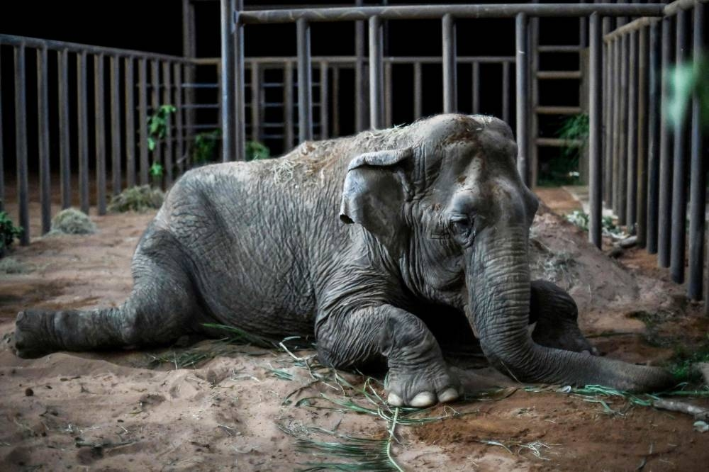 The elephant Ramba rests after arriving to the Brazilian Elephant Sanctuary located at the municipality of Chapada dos Guimaraes, Mato Grosso state, Brazil. The Asian elephant that spent decades performing in South American circuses has started a new life in an open-air sanctuary in Brazil, after travelling thousands of kilometers by plane and truck from a Chilean zoo. The elephant, estimated to be more than 52 years old. — AFP