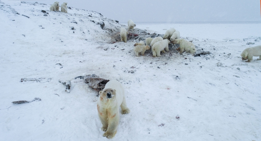 Polar bears are seen outside the village of Ryrkaypiy in the Chukotka region, Russia, in this Dec. 3, 2019 file photo. — AFP