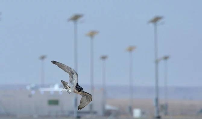 The King Abdulaziz Falconry Festival began last Sunday, and will continue until Dec. 16. — SPA