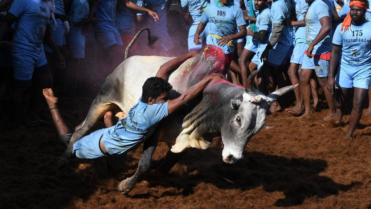 On the opening day of the festival on Thursday, more than 20 men were injured in the city of Madurai as over 600 men wrestled with as many bulls, officials told local media. — AFP