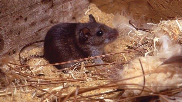 The deer mice are the principal reservoir of Sin Nombre (SN) virus, the primary etiologic agent of hantavirus cardiopulmonary syndrome (HCPS) in North America. -- Courtesy photo