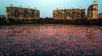 Flamingos are seen in huge numbers behind NRI colony in Talawe wetland, Nerul, during nationwide lockdown due to the coronavirus, on April 18, 2020 in Mumbai, India. — Courtesy photo Pratik Chorge/Hindustan Times
