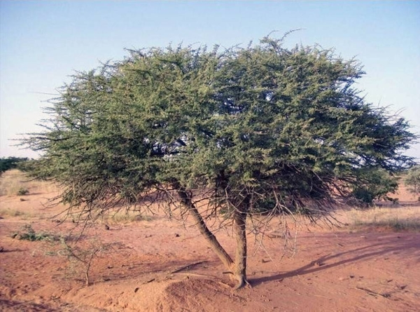 Native plants are particularly valuable and preferred as they are fully adapted to the climate and conditions around the Red Sea destination, both coastal and inland.