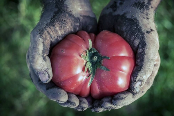 Freshly harvested tomatoes in hands.