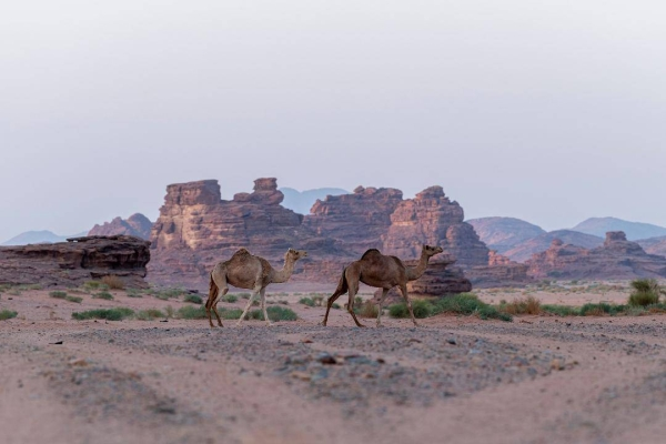 Historians describe Hisma as a region with full of Thamudic inscriptions dating back to more than 2,600 years, as well as Arab writings for the period before and after the emergence of Islam. — SPA photos