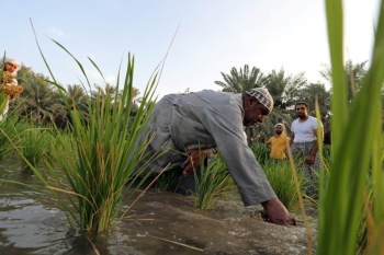 "A Saudi farmer plucks rice plantation, known as ""Hassawi rice,"" in in Al-Ahsa. — Courtesy photos"