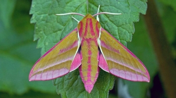 Moths are crucial for the pollination process. — courtesy Keith Warmington