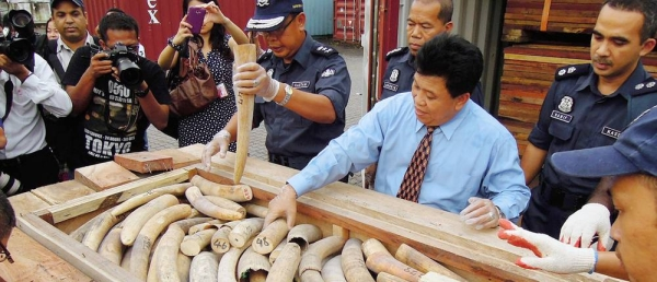 Malaysian customs officials show a seized illegal shipment of ivory. — courtesy TRAFFIC