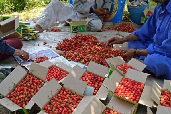 Cherry farmers have started harvesting the fruits in Kashmir.