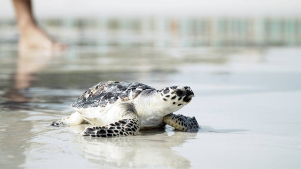 Three critically-endangered Hawksbill turtles rescued by Emirates Global Aluminium's (EGA) sustainability teams at the company's beach in Al Taweelah have been released back to the sea after receiving specialist care at Jumeirah Group's Dubai Turtle Rehabilitation Project in Burj Al Arab Jumeirah.